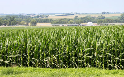 Should you spray foliar fungicide on your silage corn this year?